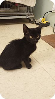 Domestic Shorthair Kitten for adoption in Holden, Missouri - Crescent Moon