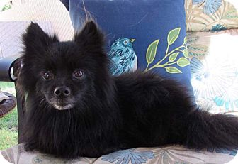 Pomeranian Mix Dog for adoption in Barriere, British Columbia - Shiloh