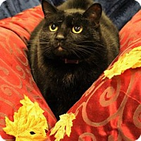 Domestic Shorthair Cat for adoption in West Des Moines, Iowa - Ozzy