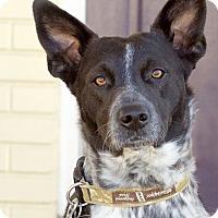 Adopt A Pet :: Kora Belle - Knoxville, TN