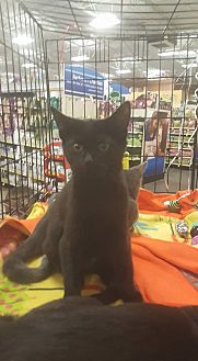 Domestic Shorthair Kitten for adoption in Griffin, Georgia - Allura