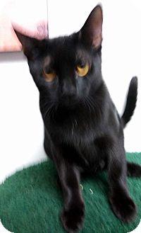 Domestic Shorthair Cat for adoption in Miami Shores, Florida - Jasper