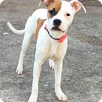 Adopt A Pet :: JULES Sis to Jagger - Morgantown, IN