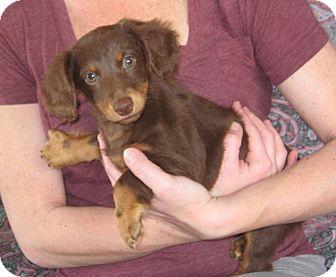 Dachshund Puppy for adoption in Greenville, Rhode Island - Gretel