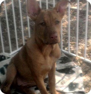Hound (Unknown Type)/Shar Pei Mix Puppy for adoption in Mira Loma, California - Nutmeg