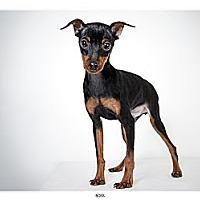 Adopt A Pet :: Boss - New York, NY