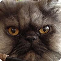 Adopt A Pet :: Smokie - Beverly Hills, CA