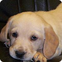 Adopt A Pet :: Sir Waddles - Greenville, RI