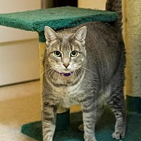 Domestic Shorthair Cat for adoption in Baton Rouge, Louisiana - Lucy