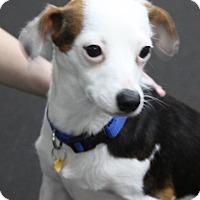 Adopt A Pet :: Chica - Rockwall, TX