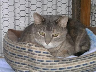 Domestic Shorthair Cat for adoption in Sparta, Wisconsin - Emily