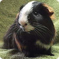 Guinea Pig for adoption in Steger, Illinois - Simon
