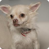 Adopt A Pet :: Dolce - Inglewood, CA