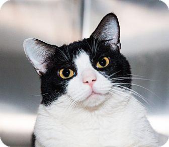 Domestic Shorthair Cat for adoption in Seville, Ohio - Marcus