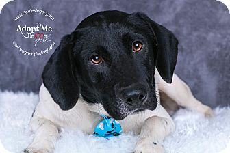 Pointer Mix Dog for adoption in Cincinnati, Ohio - Bishop- WAIVED FEE