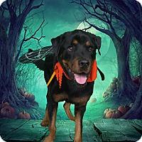 Adopt A Pet :: Francis - Gilbert, AZ
