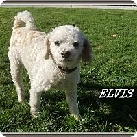 Adopt A Pet :: Elvis - Newport Beach, CA