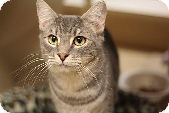 Domestic Shorthair Kitten for adoption in Richmond, Virginia - Hushpuppy