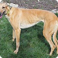 Adopt A Pet :: Alaya - Florence, KY