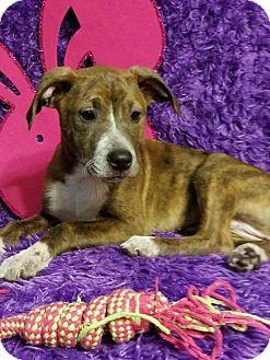 Labrador Retriever/Shepherd (Unknown Type) Mix Puppy for adoption in Elkton, Maryland - Starr
