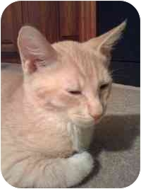 Domestic Shorthair Kitten for adoption in Tampa, Florida - Rascal