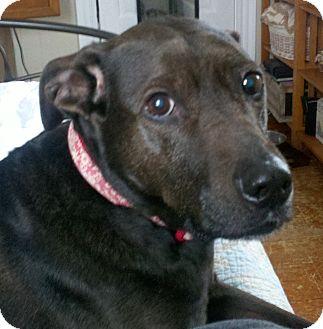 Labrador Retriever Dog for adoption in Worcester, Massachusetts - Tessa