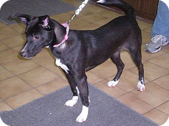 """Border Collie Mix Dog for adoption in New Castle, Pennsylvania - """" Melody """""""