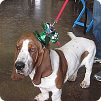 Adopt A Pet :: Tommy Howlfiger - Barrington, IL
