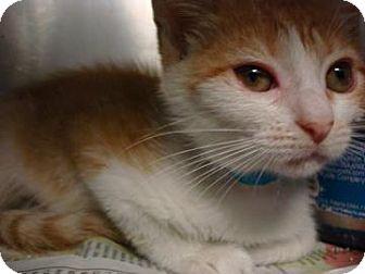 Domestic Shorthair Cat for adoption in Miami, Florida - Sara
