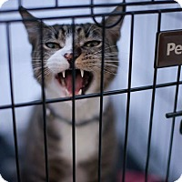 Adopt A Pet :: McCabe - Brooklyn, NY