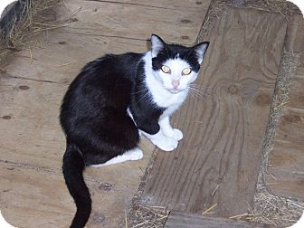 Domestic Shorthair Cat for adoption in Ravenel, South Carolina - Tuesday