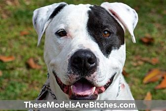 Pointer/American Bulldog Mix Dog for adoption in Beverly Hills, California - Fred