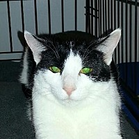 Domestic Shorthair Cat for adoption in Fenton, Missouri - ANJOU