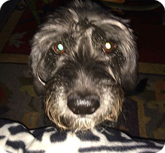 Miniature Schnauzer/Terrier (Unknown Type, Small) Mix Dog for adoption in Sharonville, Ohio - Bentley~~ADOPTION PENDING