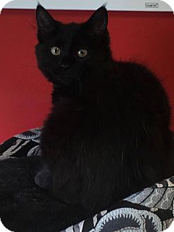 Domestic Longhair Kitten for adoption in Covington, Virginia - Onyx