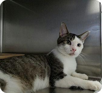 Domestic Shorthair Cat for adoption in Elyria, Ohio - Timmy