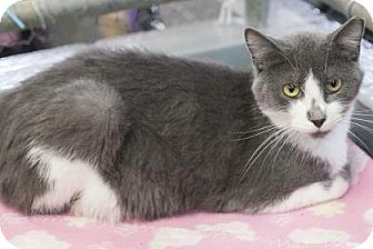 Domestic Shorthair Cat for adoption in Bedford, Indiana - Rex