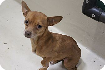 Chihuahua Mix Dog for adoption in Odessa, Texas - KH2 Dean
