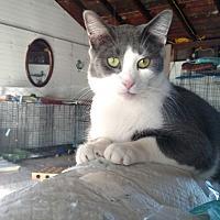 Domestic Shorthair Cat for adoption in Covington, Pennsylvania - Riley