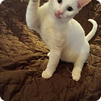American Shorthair Kitten for adoption in Ocala, Florida - Xavier