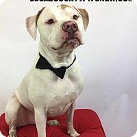 Adopt A Pet :: Luigi - Toledo, OH