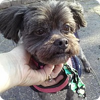 Shih Tzu/Lhasa Apso Mix Dog for adoption in Hanover, Pennsylvania - CHEWIE ~ SWEET LITTLE MAN