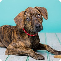 Adopt A Pet :: Tiger - New York, NY