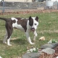 Adopt A Pet :: Ivy - Harrisville, RI