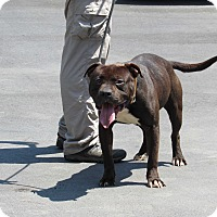 Pit Bull Terrier Mix Dog for adoption in Henderson, North Carolina - Chief