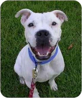 Boxer/English Bulldog Mix Dog for adoption in Albany, Georgia - Georgia