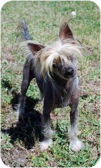 Chinese Crested Dog for adoption in Whitewright, Texas - Elvis