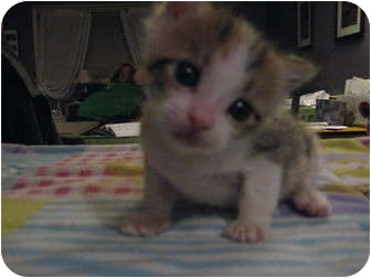 Domestic Shorthair Kitten for adoption in Union, Kentucky - Sophie