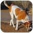 Photo 4 - St. Bernard Mix Dog for adoption in Glendale, Arizona - Tank