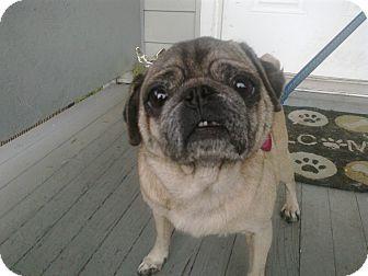 Pug Dog for adoption in Cumberland, Maryland - Daisy